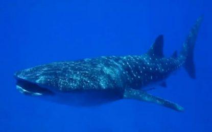 Rare Whale Shark Sighting Off Eilat Coast on Last Day of Passover ByAdam Eliyahu Berkowitz