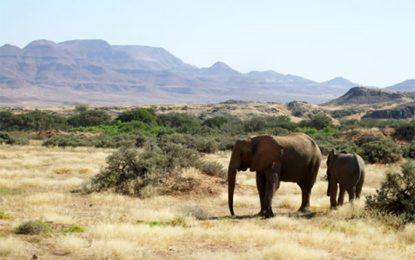 כדי לפצות על הבצורת: נמיביה תעמיד פילים וג'ירפות למכירה פומבית